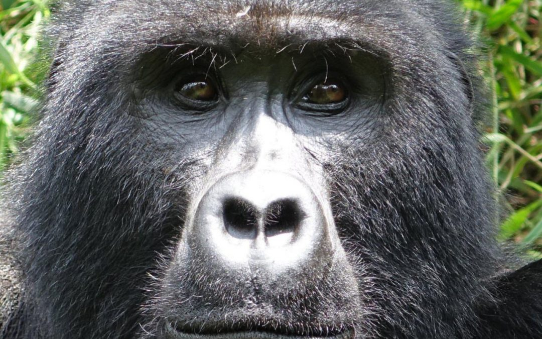 Gorilas en Bwindi National Park