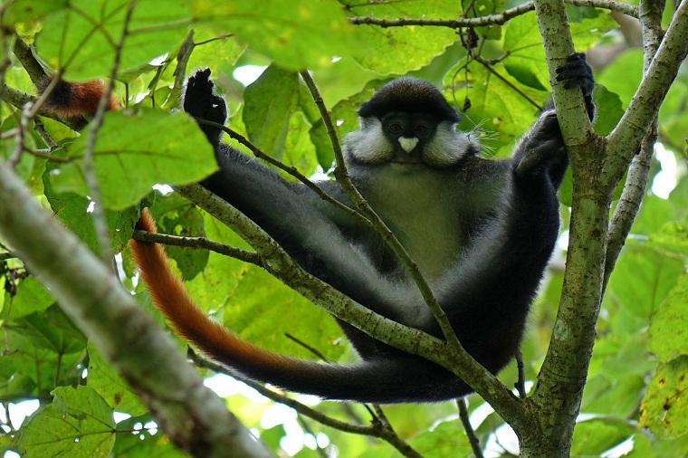Ver chimpances en Kibale en Uganda