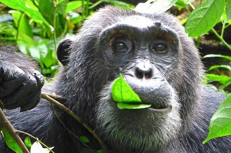 Chimpancés en Kibale National Park