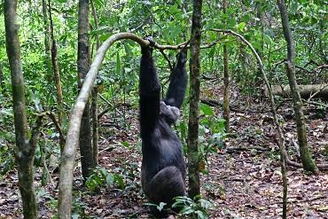 Ver chimpancés en Kibale en Uganda