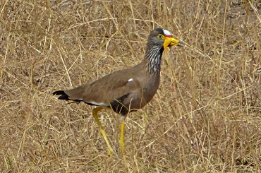 Qué ver en Akagera national park  Ruanda