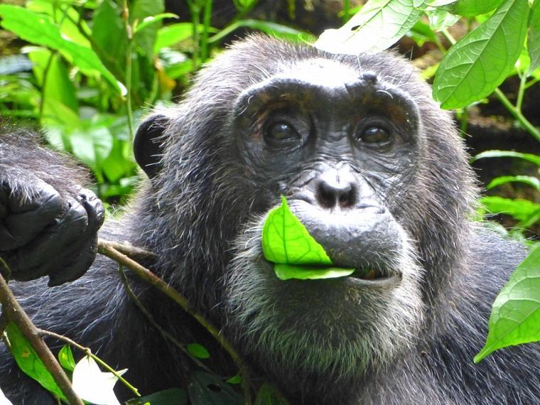 chimpances en kibale national park