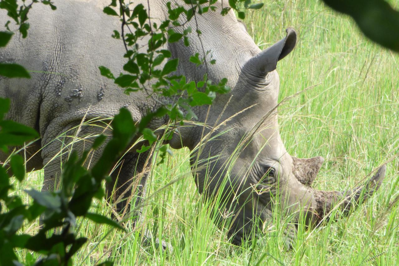 Rinocerontes en el Ziwa Rhino Sanctuary
