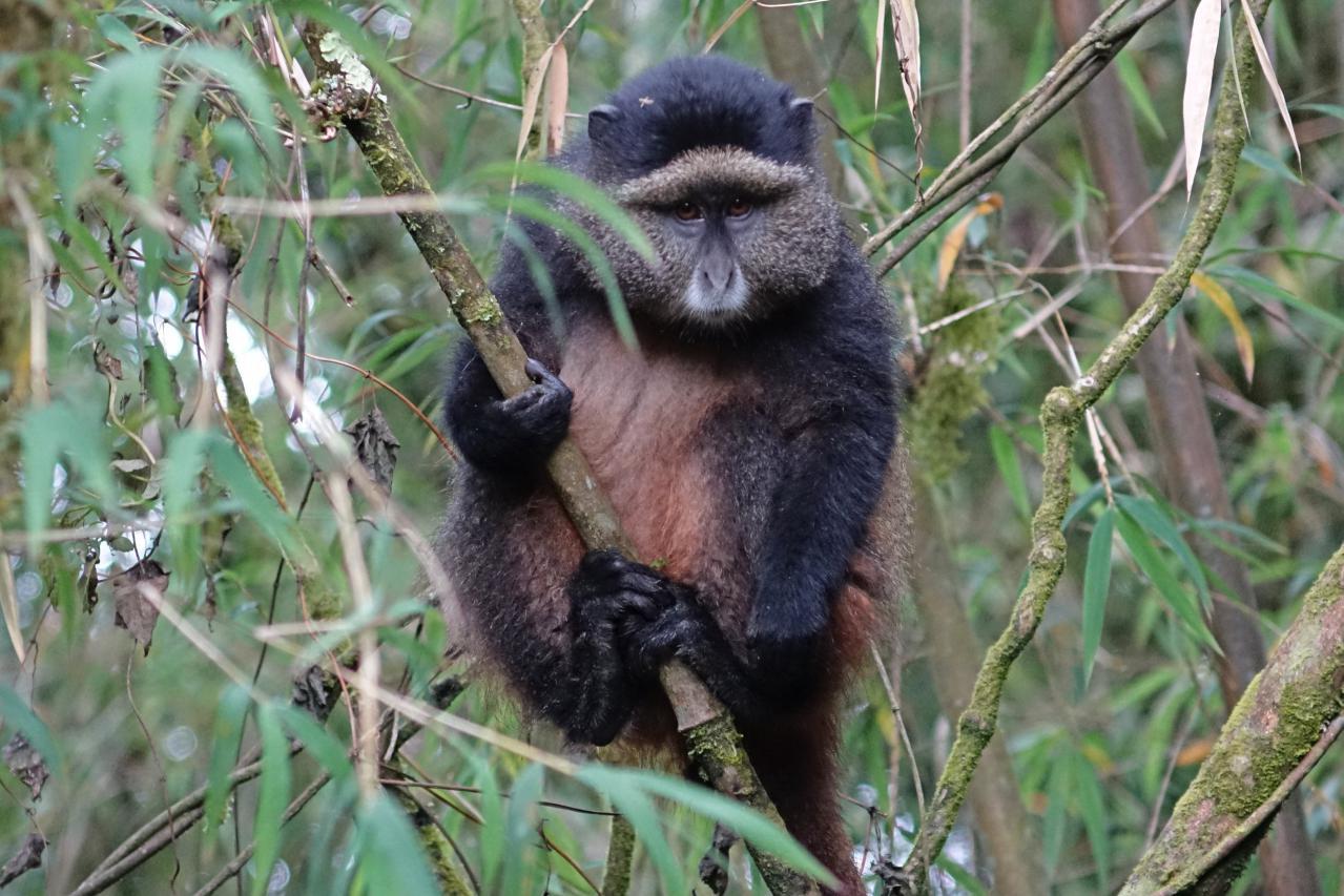 Golden Monkeys en parque nacional de los volcanes