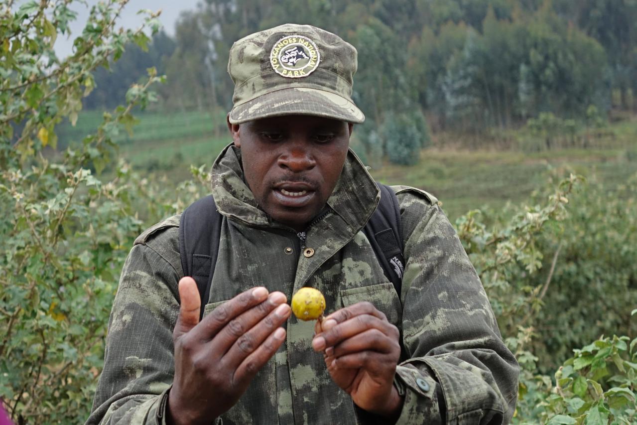 Golden Monkeys en parque nacional de los volcanes en Ruanda
