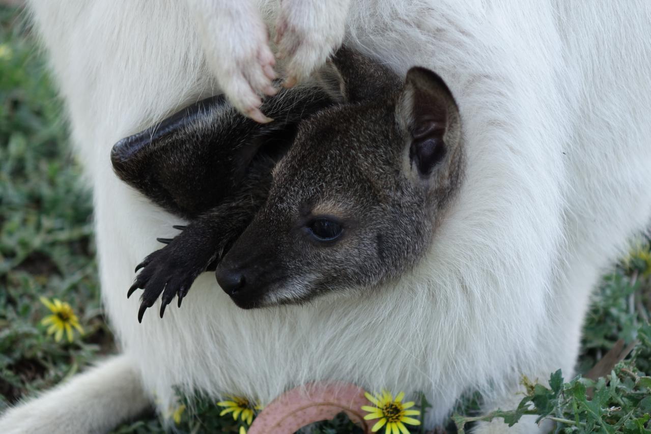 Visita del Kangaroo Island Wildlife Park en Australia