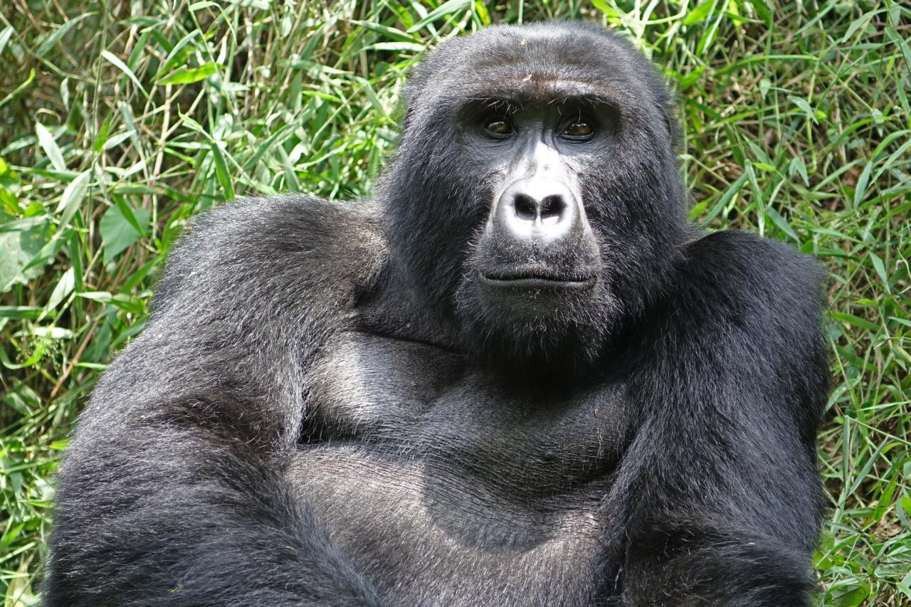 Gorilas en Bwindi National Park en Uganda